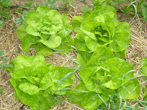 lettuce growing in ground